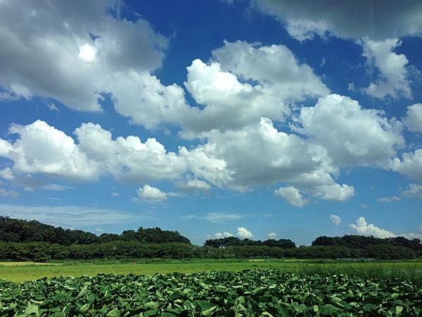 サトイモ畑.jpg